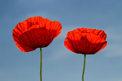 Field of red poppies Royalty Free Stock Photography