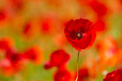 Field of red poppies. Red poppies on spring meadow Stock Photography