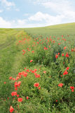 Field with red poppies Stock Images