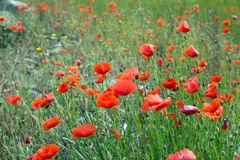 Field of  red poppies Stock Photos