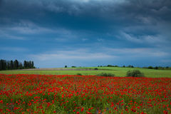 A field of red poppies Royalty Free Stock Images