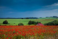 A field of red poppies Stock Photography