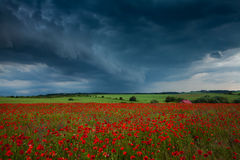 A field of red poppies Stock Image