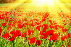 Field with red poppies in the sun Royalty Free Stock Photos