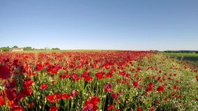 Field of red poppies at sunset stock footage