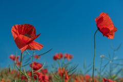 A field of red poppies to the very horizon and a bright sun. royalty free stock image