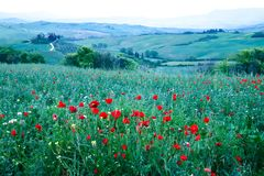 Field of red poppies in the Val d Orcia, Tuscany, Italy. Hills of Tuscany. Val d`Orcia landscape in spring. Cypresses, hills and green meadows royalty free stock photo