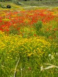Field of red poppies and yellow flowers royalty free stock image
