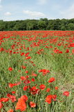 Field of red poppy. (Papaver rhoeas) in Somme,Picardy region of France royalty free stock photo