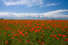 Field of red poppy. Spring rep poppy field in Kazakhstan royalty free stock images