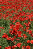 Field of red poppy. (Papaver rhoeas Royalty Free Stock Image