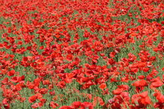 Field of red poppy. In Somme,Picardy region of France Royalty Free Stock Image