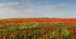 Field of red poppy anemones late in spring Stock Photography