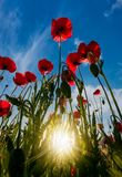 Field of red poppy flower shot from below. Field of red poppy flower with sunburst shot from below. beautiful nature background against the blue sky Royalty Free Stock Photos