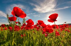Field of red poppy flower shot from below. Field of red poppy flower with sunburst shot from below. beautiful nature background against the blue sky Stock Photos