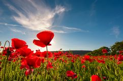 Field of red poppy flower shot from below. Field of red poppy flower with sunburst shot from below. beautiful nature background against the blue sky Royalty Free Stock Photo