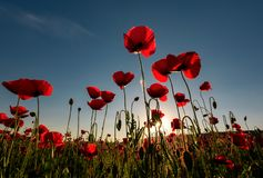 Field of red poppy flower shot from below. Field of red poppy flower with sunburst shot from below. beautiful nature background against the blue sky Stock Images