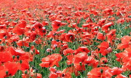 Field of red poppy flowers Stock Photography