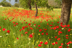 Field of red poppy flowers Stock Photo
