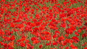 Field of Red Poppy Flowers Blowing in Breeze Royalty Free Stock Photography