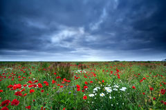 Field with red poppy flowers and daisy Stock Photos
