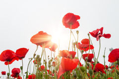 Field with a red poppy flowers in morning sunlight Stock Image