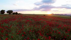 Field of red poppy flowers stock video