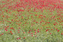 Field of red poppy flowers in spring Stock Image