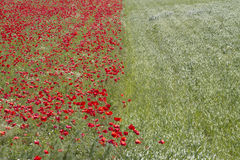Field of red poppy flowers in spring Stock Photo