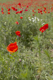 Field of red poppy flowers in spring Royalty Free Stock Photos