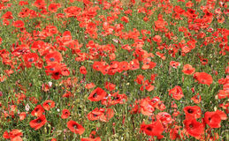 Field of red poppy flowers Royalty Free Stock Photography