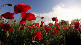 Field of red poppy flowers in the wind
