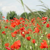 Field of red poppy. (Papaver rhoeas) in Somme,Picardy region of France royalty free stock image