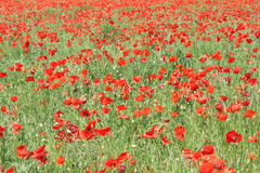 Field of red poppy. (Papaver rhoeas) in Somme,Picardy region of France Stock Images
