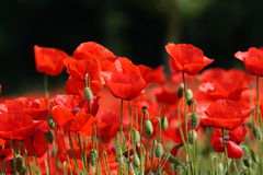 Field of red poppy. (Papaver rhoeas) in Somme,Picardy region of France royalty free stock photography