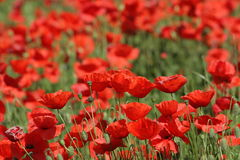 Field of red poppy. (Papaver rhoeas) in Somme,Picardy region of France royalty free stock images