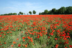 Field of red poppy Royalty Free Stock Photos
