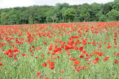 Field of red poppy. Papaver rhoeas in Somme,Picardy region of France stock photography
