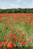 Field of red poppy. Papaver rhoeas in Somme,Picardy region of France Royalty Free Stock Photography