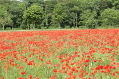 Field of red poppy. Papaver rhoeas in Somme,Picardy region of France royalty free stock photos