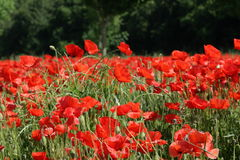 Field of red poppy. Papaver rhoeas in Somme,Picardy region of France stock image