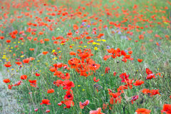 Field of red poppy Stock Images