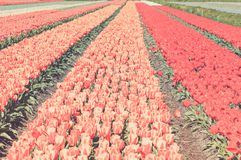 Field of red and striped tulips Stock Photography