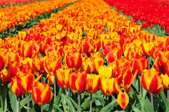 Field of red and striped tulips Royalty Free Stock Photos