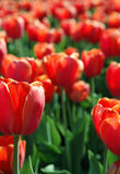 Field of red tulip. Field of flowers Royalty Free Stock Photo