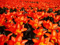 Field of red tulip flowers Stock Photos