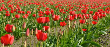 Field of red tulip flowers Stock Images