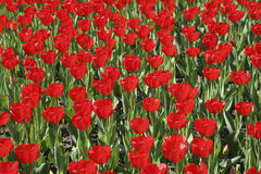 Field of red tulip in spring sunny day Stock Image