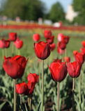 Field of red tulips Stock Photo