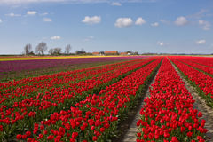Field with red tulips. A spring field with red tulips somewhere in the Netherlands Stock Photography